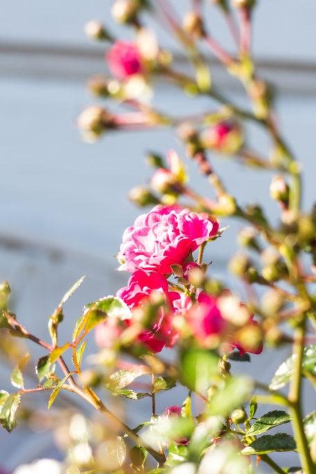 Rosen Garten Pink Sommer
