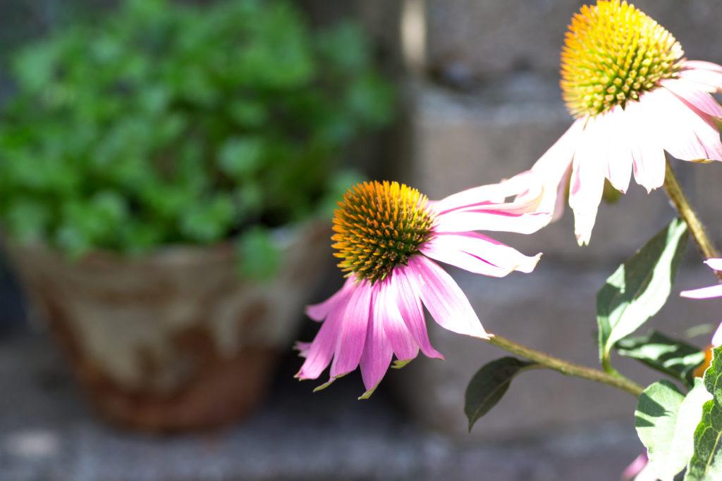 Mein Augustgarten und eine Mirabellen Galette
