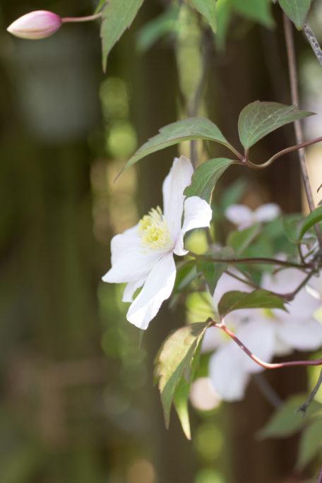 Clematisblüte Mai Garten