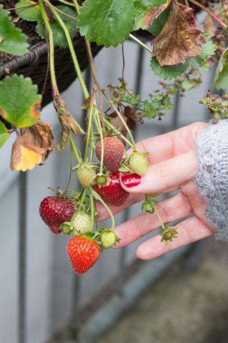 Die letzten Erdbeeren im Garten