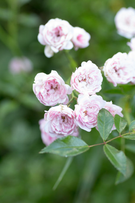 Rosa Röschen